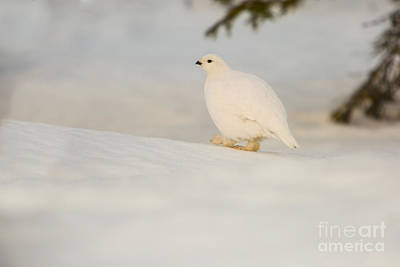 Photograph - Willow Ptarmigan Lagopus Lagopus by Gabor Pozsgai
