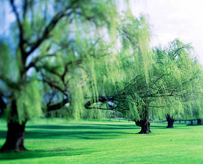 Weeping Willow Photograph - Willow Trees by Panoramic Images
