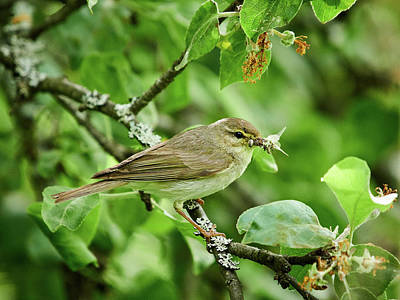 Winter Animals Rights Managed Images - Willow warbler Royalty-Free Image by Jouko Lehto