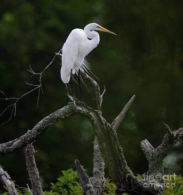 Photograph - Willowy Great White Heron In Dead Tree  by Dale Powell