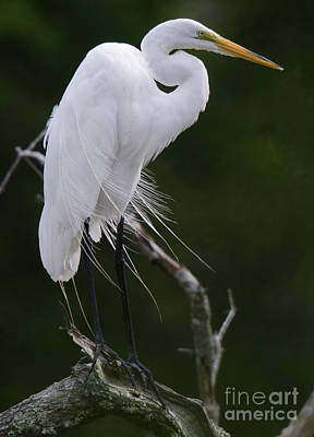 Photograph - Willowy Great White Heron Perched In Tree by Dale Powell