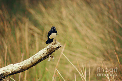 Photograph - Willy Wagtail by Cassandra Buckley