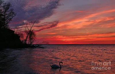 Photograph - Wilson Swan Sunset  by Tony Lee