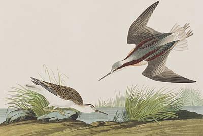 Wilson River Painting - Wilson's Phalarope by John James Audubon