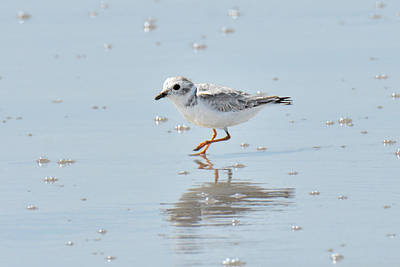 Photograph - Wilson's Plover by Alan Lenk