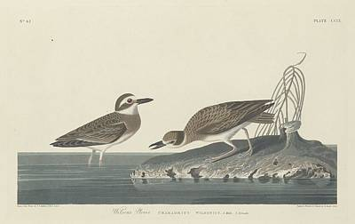 Wings Drawing - Wilson's Plover by Dreyer Wildlife Print Collections