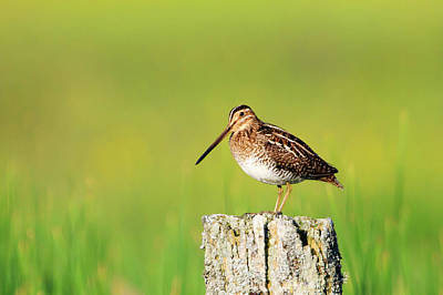 Photograph - Wilson's Snipe 2 by Gary Hall