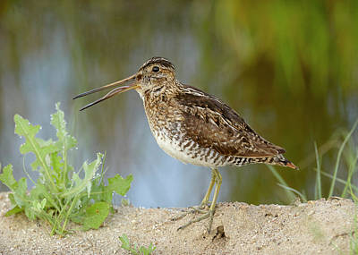 Photograph - Wilson's Snipe by Doug Herr