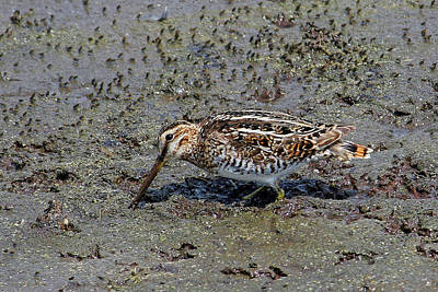 Photograph - Wilson's Snipe by HH Photography of Florida