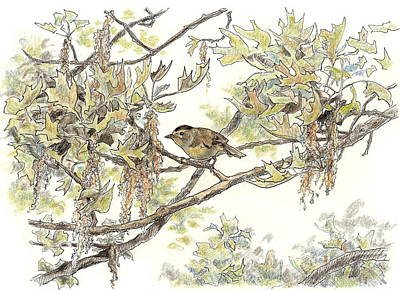 The Maine Drawing - Wilson's Warbler by Abby McBride