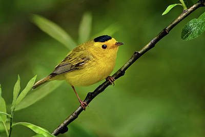 Photograph - Wilson's Warbler by Craig Strand