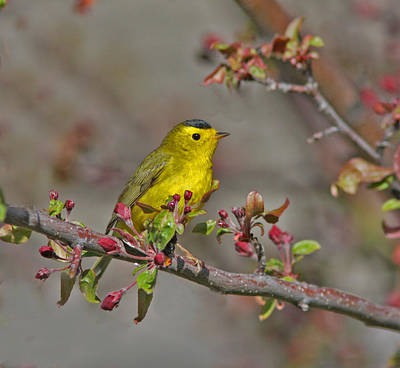 Berries Photograph - Wilson's Warbler by Gary Wing