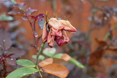 Photograph - Wilted by Kelly Smith
