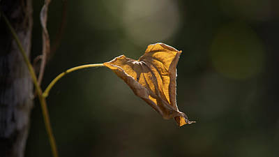 Photograph - Wilted Leaf by Steve Gravano