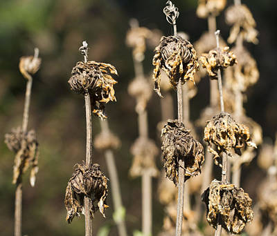 Photograph - Wilted by Nathan Rupert