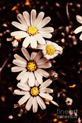 Petals Photograph - Wilting And Blooming Floral Daisies by Jorgo Photography - Wall Art Gallery