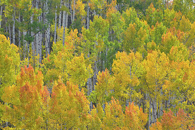 Photograph - Wind Blown Aspens At Dallas Divide by Ray Mathis