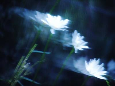 Photograph - Wind Blown Daisies by Barbara St Jean