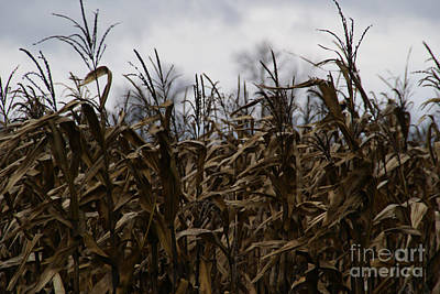 Cornfield Photograph - Wind Blown by Linda Shafer