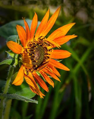 Photograph - Wind Blown Sunflower by Leticia Latocki