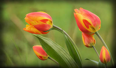 Photograph - Wind Blown Tulips by Angie Vogel