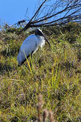 Photograph - Wind Blown Wood Stork by Warren Thompson