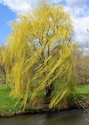 Art Print featuring the photograph Wind In The Willow by Viviana  Nadowski
