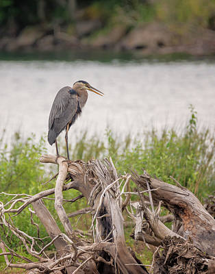 Wind River Heron Art Print