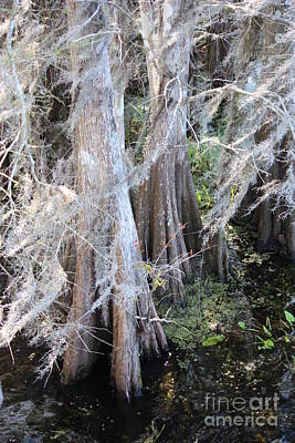 Cypress Swamp Photograph - Wind Through The Cypress Trees by Carol Groenen