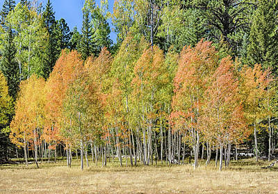 Photograph - Windblown Aspen by Gaelyn Olmsted