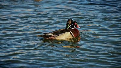 Photograph - Windblown Head Feathers, Wood Duck by Flying Z Photography by Zayne Diamond