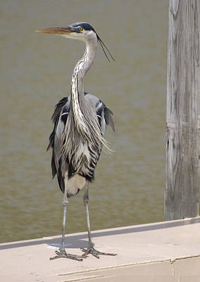 Photograph - Windblown Heron by Kathleen Stephens