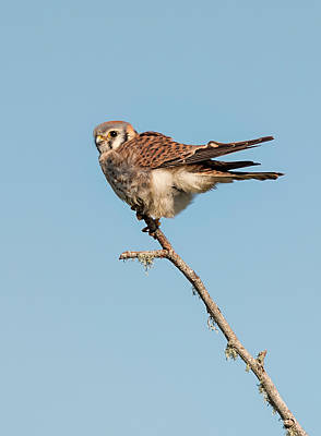 Photograph - Windblown Kestrel by Loree Johnson