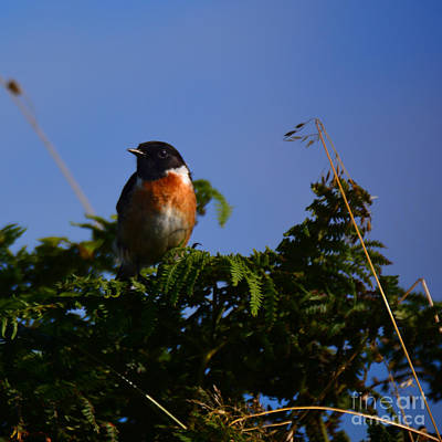 Photograph - Windblown Stonechat by Paul Davenport