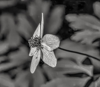 Photograph - Windflower May 2015 Bw. by Leif Sohlman
