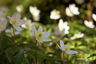 Forest Floor Photograph - Windflowers In The Shadow by Sverre Andreas Fekjan
