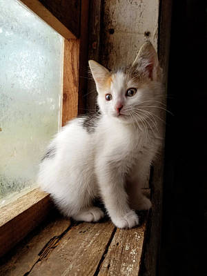 Photograph - Window Kitty by Brook Burling