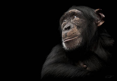Chimpanzee Photograph - Window To The Soul by Paul Neville