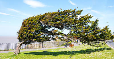 Photograph - Windswept Tree by Colin Rayner
