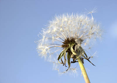 Photograph - Windy Dandelion by Joseph Skompski