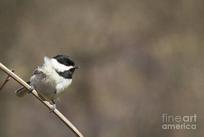 Photograph - Windy Day Chickadee by David Cutts