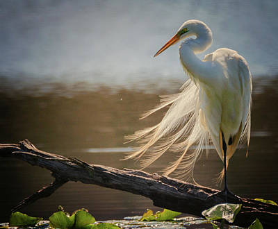Photograph - Windy Egret  by Richard Kopchock