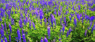 Photograph - Windy Lupines By Brad Scott by Brad Scott