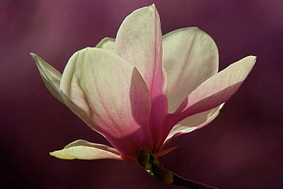 Photograph - Wine And Cream Magnolia Blossom by Byron Varvarigos