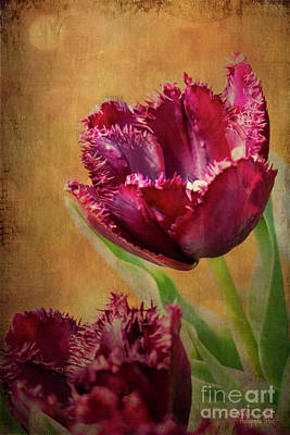 Photograph - Wine Dark Tulips From My Garden by Chris Armytage