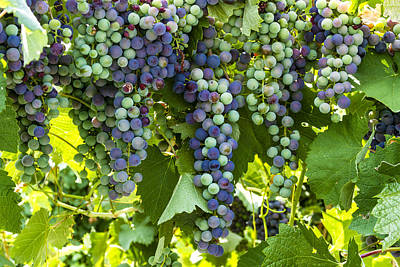 Wine Grape Colors Art Print by Teri Virbickis