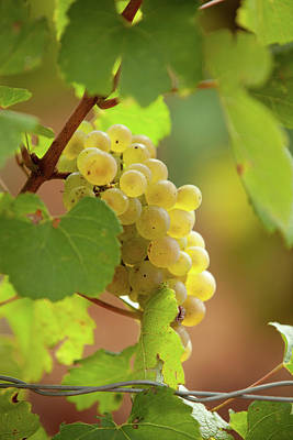 Photograph - Wine Grape by John Magyar Photography
