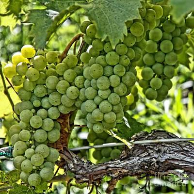 Blue Grapes Photograph - Wine Grapes by DJ Florek