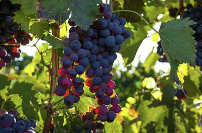 Photograph - Wine Grapes In The Morning Light by Lynn Hopwood