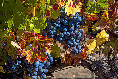 Of Autumn Photograph - Wine Grapes Napa Valley by Garry Gay